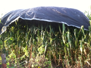 that's how you friggin tarp some corn!